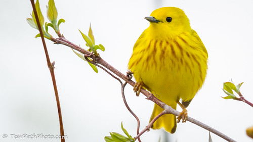Yellow Warbler. Marsh harbor is another excellent place for bird watching. Flocks of loud, colorful tropical birds are regular visitors to this peaceful, beautiful resort village.